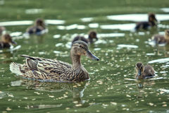 Mère-canard et canetons Photo stock