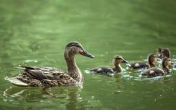 Mère-canard et canetons Images stock