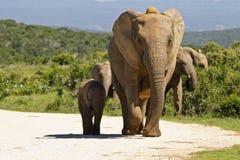 Mère d'éléphant Images stock