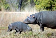 mère d'hippopotame de chéri photographie stock libre de droits