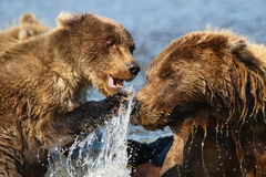 Mère d'ours de l'Alaska Brown et combat de CUB Photographie stock libre de droits