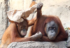 Mère d'Utan d'orang-outan avec l'enfant Image libre de droits