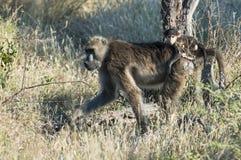 Mère de babouin avec la chéri sur le dos Image stock