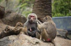 Mère de babouin toiletté par de plus jeunes babouins image libre de droits