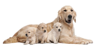 Mère de chien d'arrêt d'or, 5 années photographie stock libre de droits