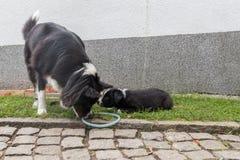 Mère de chien jouant avec le chiot Image libre de droits