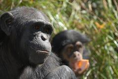 mère de chimpanzé Image libre de droits