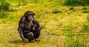 Mère de chimpanzé occidental tenant son portrait infantile et beau de famille, espèce animale en critique mise en danger d'Afriqu images libres de droits
