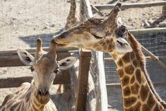 Mère de girafe léchant son klaxon d'enfant Photographie stock libre de droits