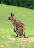 Mère de kangourou et son bébé Photographie stock libre de droits