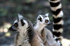 mère de lemur d'enfant Image libre de droits