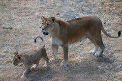 Mère de lionne et ses jeunes Photos libres de droits