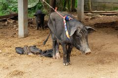 Mère de porc observant son sommeil de bébé Beaucoup peu de porcins dorment photos stock