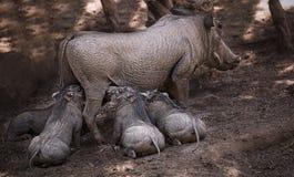 Mère de porc de verrue et ses bébés Photo stock