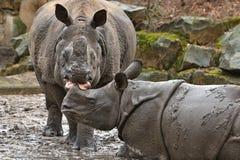 Mère de rhinocéros indien et un bébé dans la belle nature regardant l'habitat image libre de droits