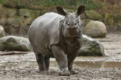 Mère de rhinocéros indien et un bébé dans la belle nature regardant l'habitat photos stock