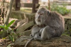 Mère de singe photographie stock libre de droits
