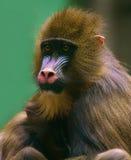 Mère de singe avec la chéri Photo stock