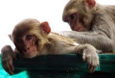 Mère de singe de macaque de rhésus soignant ses jeunes Photos stock