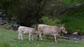 Mère de soins de vache à élevage, au beau milieu de nature banque de vidéos