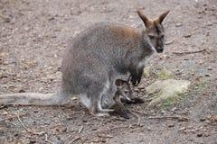 Mère de wallaby avec le bébé image stock
