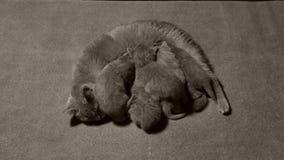 Mère des Anglais Shorthair alimentant ses bébés, vue d'en haut banque de vidéos