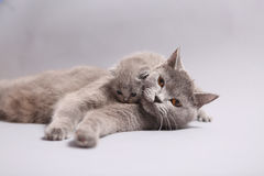Mère des Anglais Shorthair avec son chaton Photo stock