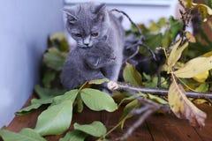 Mère des Anglais Shorthair portant son chaton dans la bouche Photographie stock libre de droits