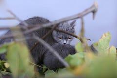 Mère des Anglais Shorthair portant son chaton dans la bouche Photos stock