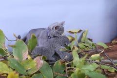 Mère des Anglais Shorthair portant son chaton dans la bouche Image stock