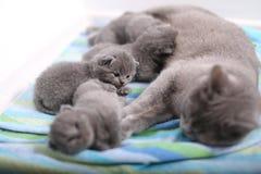 Mère des Anglais Shorthair prenant soin de ses bébés, portrait Photo stock