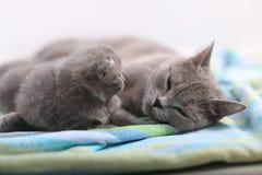 Mère des Anglais Shorthair prenant soin de ses bébés, portrait Photos stock