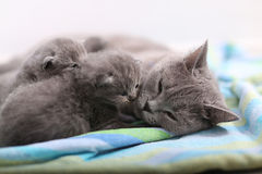 Mère des Anglais Shorthair prenant soin de ses bébés, portrait Photographie stock