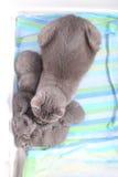 Mère des Anglais Shorthair prenant soin de ses bébés, portrait d'en haut Photo stock