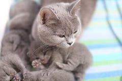 Mère des Anglais Shorthair prenant soin de ses bébés, portrait d'en haut Photo libre de droits