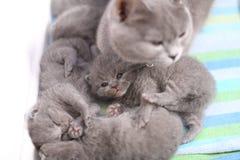 Mère des Anglais Shorthair prenant soin de ses bébés, portrait d'en haut Photos stock