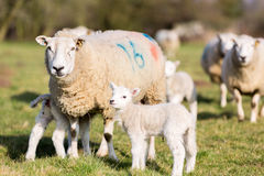 Mère et agneau Photographie stock