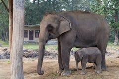Mère et bébé d'éléphant en parc national de Chitwan, Népal Images libres de droits