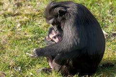 Mère et bébé de Chimpansee Images libres de droits