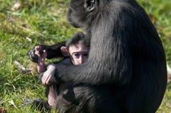 Mère et bébé de Chimpansee Image stock
