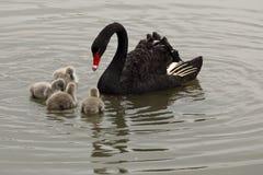 Mère et bébés de cygne Images libres de droits