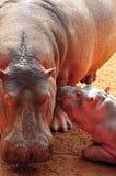 Mère et chéri d'hippopotame Photos stock