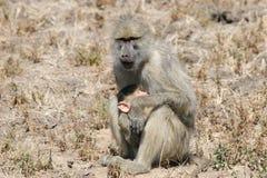 Mère et chéri de babouin Photo libre de droits