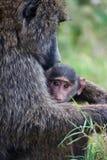 Mère et chéri de babouin Images stock