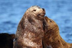 Mère et chiot d'otarie de la Californie montrant l'amour et les liens Photographie stock