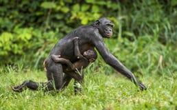 Mère et CUB courants de bonobo de chimpanzé dans l'habitat naturel Fond naturel vert Photos stock