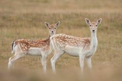 Mère et descendant de cerfs communs affrichés images libres de droits