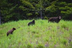 Mère et deux Cubs d'ours noir Images stock