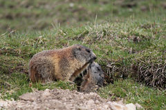 Mère et enfant alpestres de marmotte Photographie stock