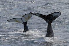 Mère et enfant de baleine de bosse de l'Antarctique Image libre de droits